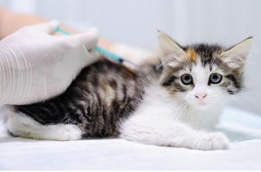 Amigos peludos | Vacunas para gatos