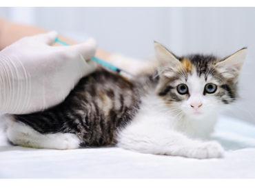 Amigos peludos   Vacunas para gatos