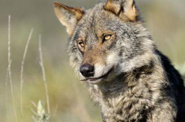 Tierra | El lobo ibérico